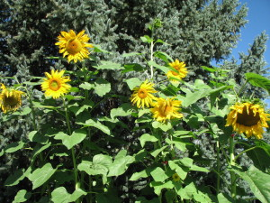sunflowers 007
